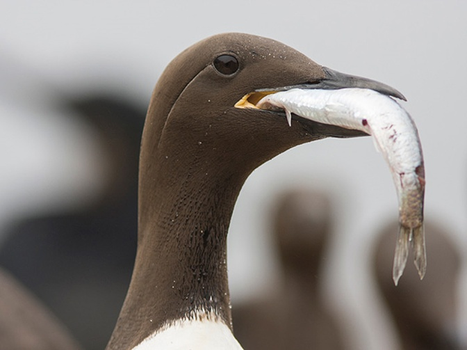 The Murres, the Blob, and Saving the World